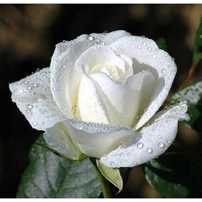 Termurah Benih Bibit Biji Bunga Mawar Putih White Rose Seeds Berkualitas Shopee Indonesia