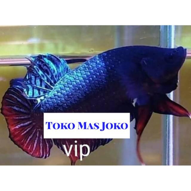 Ikan cupang aduan terlaris Sakai Arena Vip ganas import ...