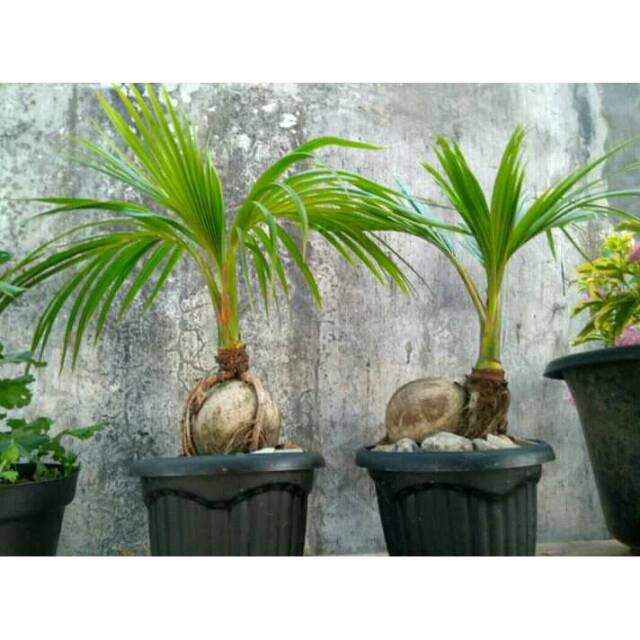Bonsai Kelapa Gading Hijau Shopee Indonesia