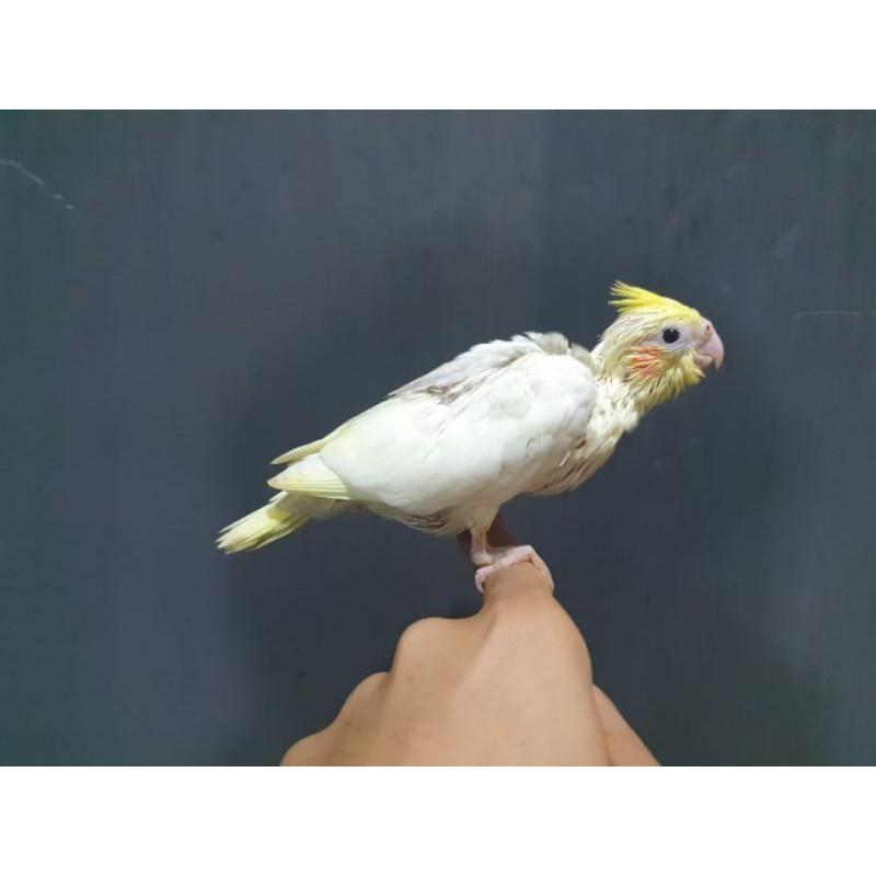 Anakan Lolohan Burung Falk Parkit Australia Cockateil Shopee Indonesia