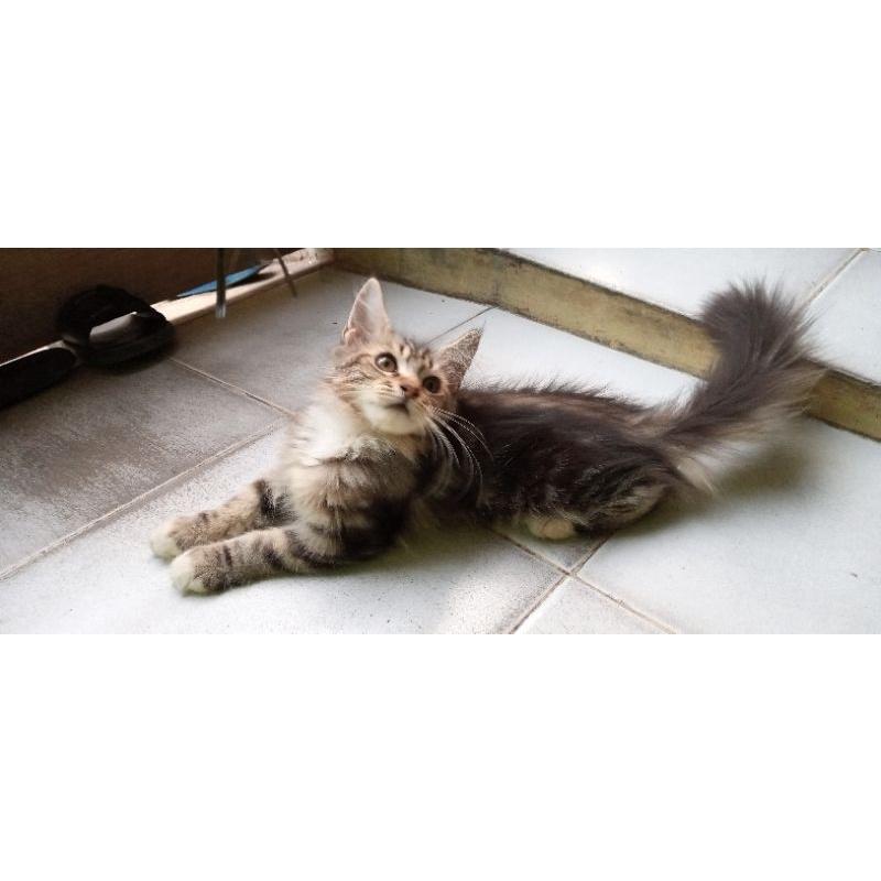 kucing kitten mainecoon pure pedigree
