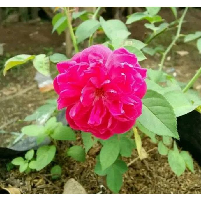 C R Tanaman Hias Mawar Pink Bibit Pohon Bunga Mawar Pink Rambat Shopee Indonesia