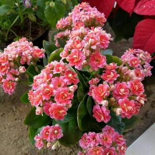 Download 5500 Gambar Foto Bunga Cocor Bebek Paling Cantik