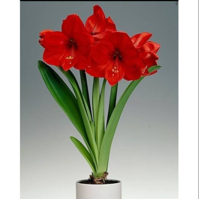 Bibit Bunga Amarilis Merah Amarilis Bunga Merah Amarilis Bunga Amarilis Shopee Indonesia