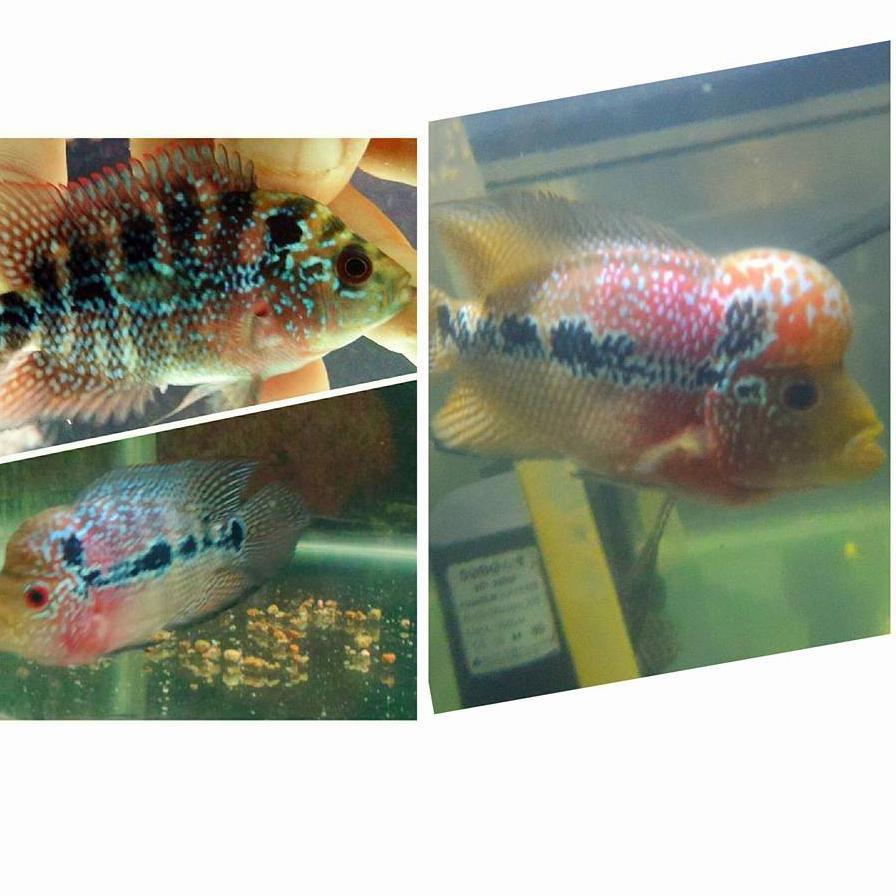 Kode Y222 Kasih Murah Makanan Ikan Louhan Lohan Pelet Je Special Gold Jenong Warna Mutiara 100gr Shopee Indonesia