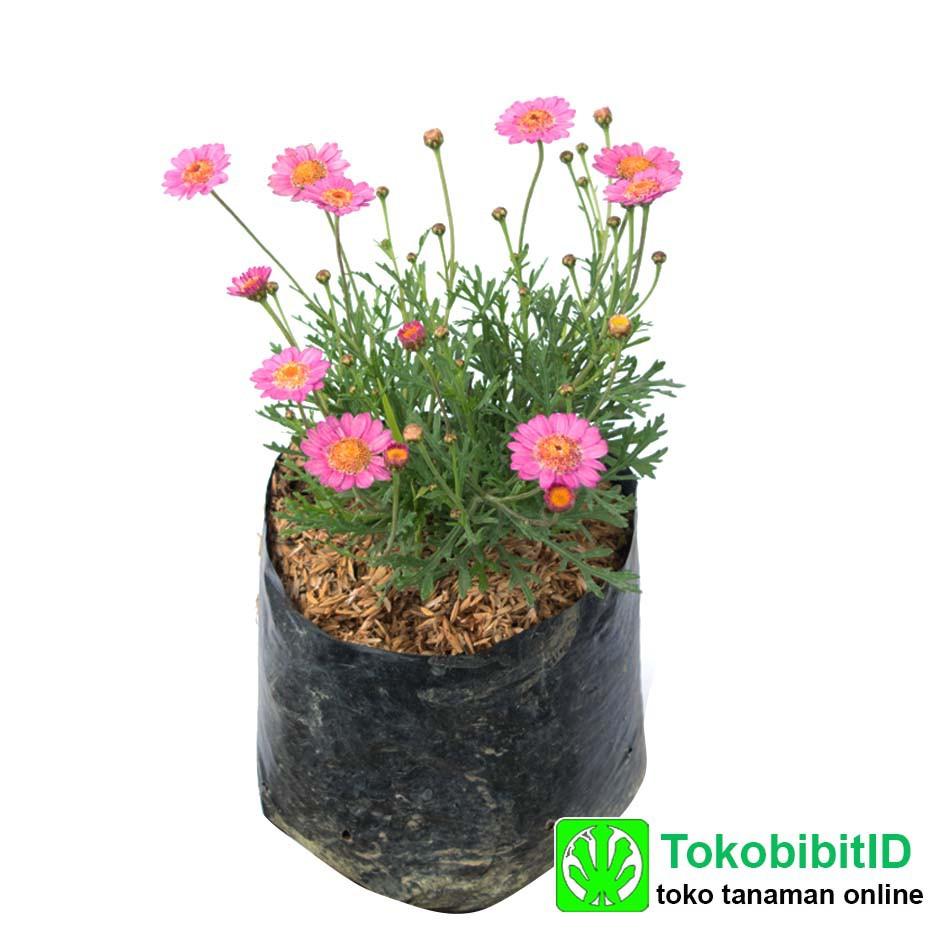 Tanaman Hias Dianthus Pink Shopee Indonesia Bibit Bunga Hibiscus Bicolor Striped
