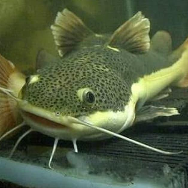 ʖ Ikan Hias Aquarium Lele Hias Rtc Shopee Indonesia