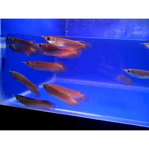 Baby Ikan Arwana Super Red