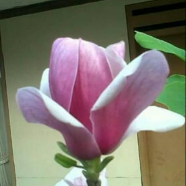 Download 500+ Wallpaper Bunga Kantil  Paling Baru