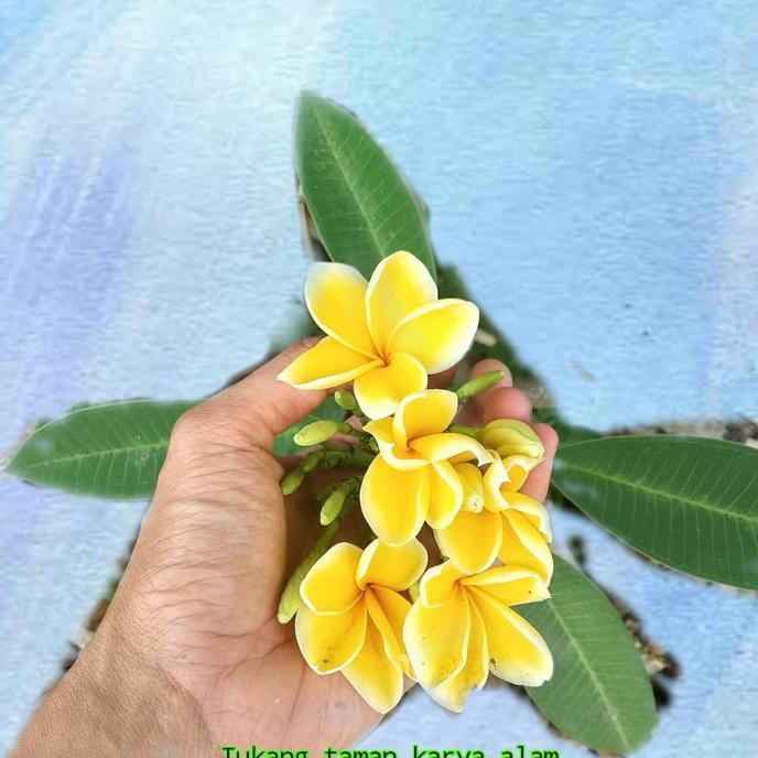 Frtn Bibit Stek Batang Bunga Kamboja Warna Kuning Kamboja Bunga Kuning Shopee Indonesia