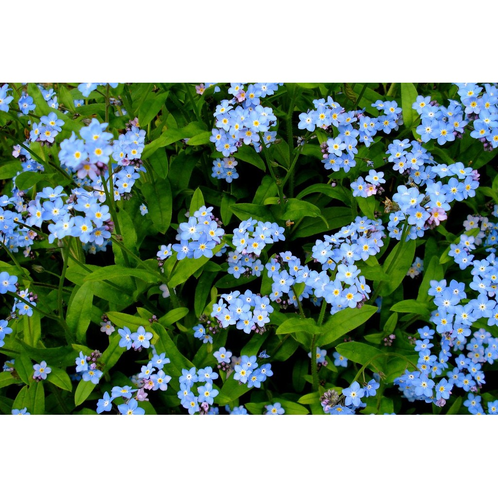 Amefurashi Bibit / Benih / Seeds Bunga Forget Me Not Flower Mudah Tumbuh | Shopee Indonesia