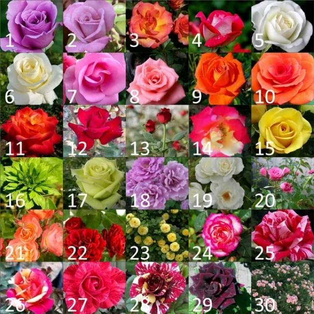 Bibit Tanaman Hias Bunga Mawar Mawar Warna Warni Bebas Pilih 30 Varian Warna Shopee Indonesia