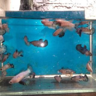Kode 1402 Ikan Cupang Blue Rim Betina Blue Ikan Cupang Blue Panda Ikan Cupang Marble Proses Muta Shopee Indonesia