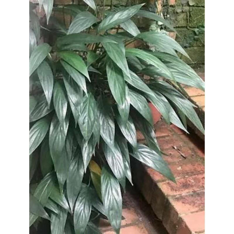 Epipremnum Amplissimum Green