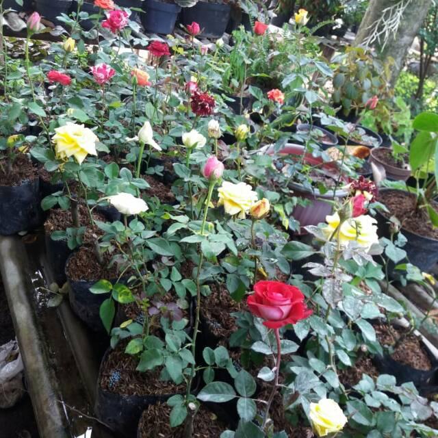 Bunga Mawar Hidup Shopee Indonesia