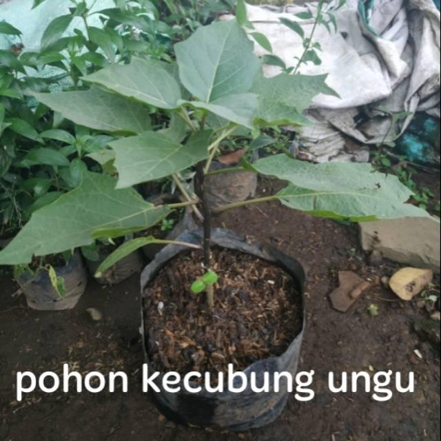 Tanaman Herbal Pohon Kecubung Ungu Shopee Indonesia