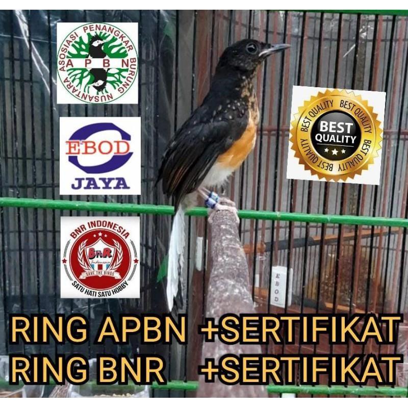 MURAI BATU BAHOROK DOUBLE RING APBN RING BNR TRAH INDUK PRESTASI