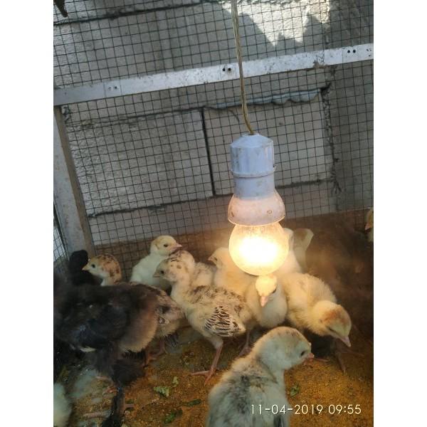 Ayam Kalkun Anakan Umur Seminggu Lebih Murah Shopee Indonesia