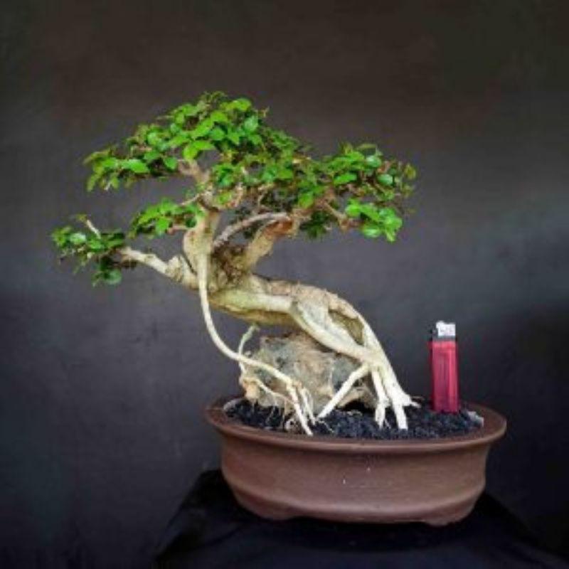 Bonsai Tanaman Hias Mini Pohon Serut Meliuk Unik