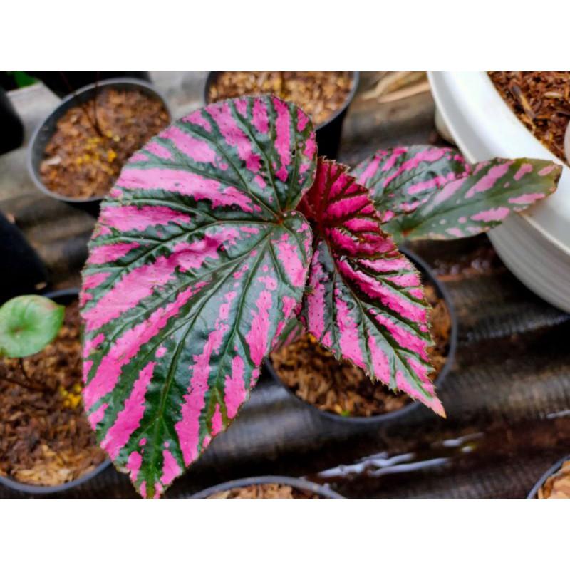 BEGONIA REX WALLET tanaman hidup