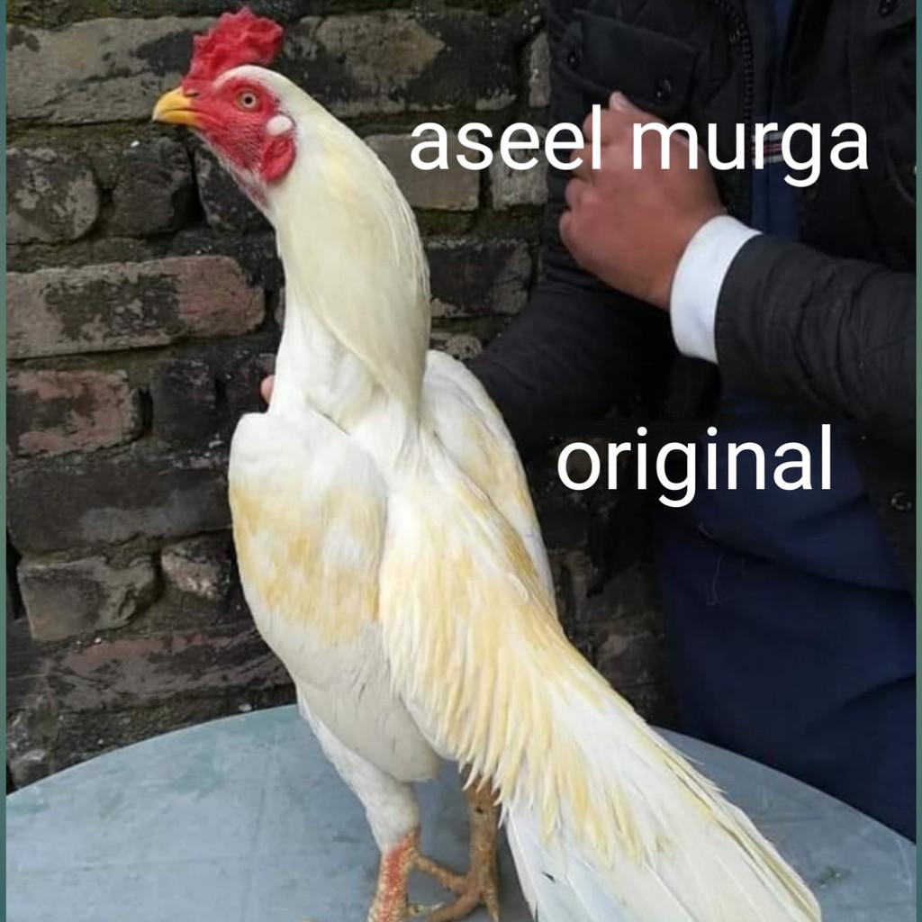 telur ayam bangkok aseel murga