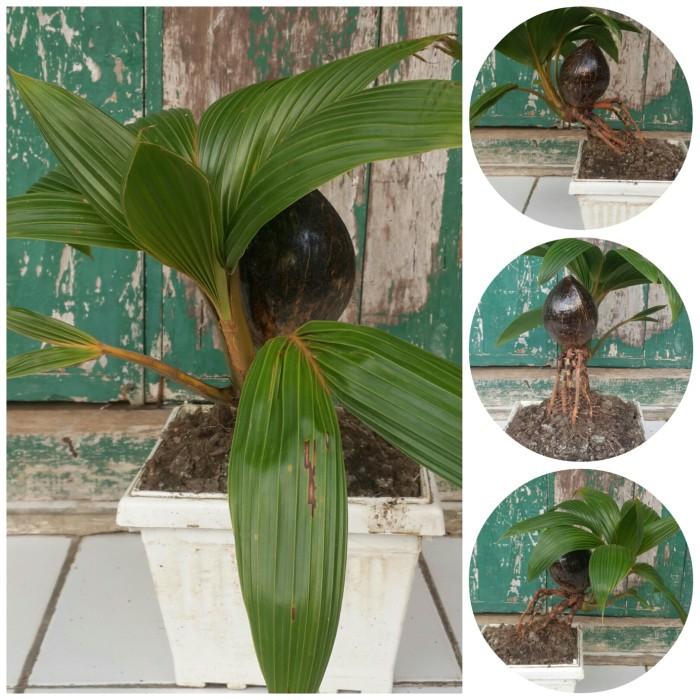 Bonsai kelapa gading unik menarik