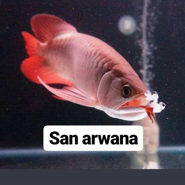 Arwana super red chili ikan arwana