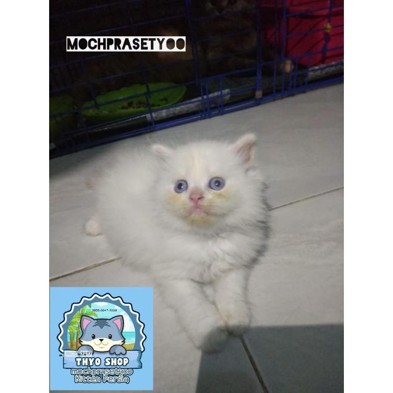 Kucing Persia Betina Kucing Kitten Persia Jantan Kucing Anggora Shopee Indonesia