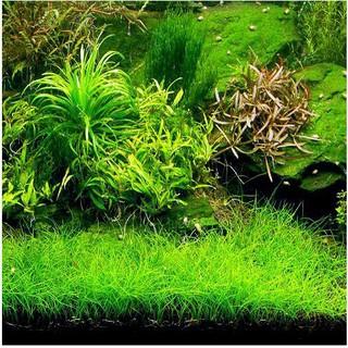 Bibit / Benih Biji Rumput Aquarium COW LEAF GRASS Carpet ...