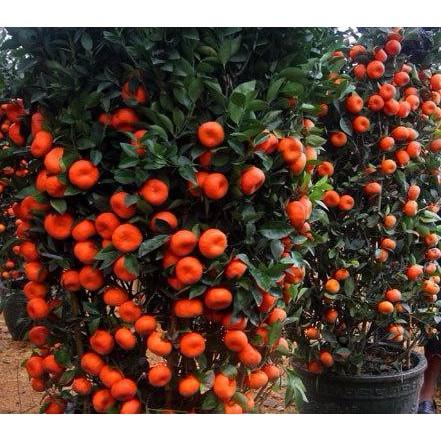 Bibit Biji Benih Buah Golden Kiwi Zepri Emas Kuning Gold Fruit 50 butir | Shopee Indonesia
