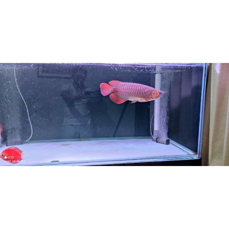 Ikan Arwana Super Red 40 cm