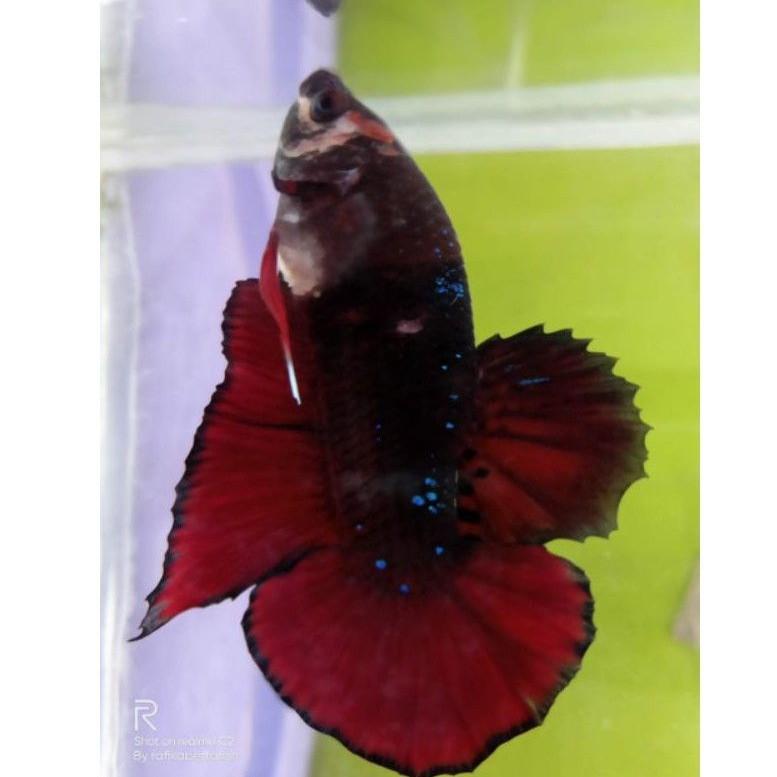 hiasan aquarium ikan cupang black series avatar Gordon,black ghost vampire,copper,gold, BBL quality