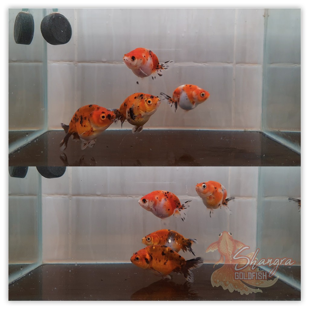 Ikan Mas Koki Ranchu - Sapi Panca Warna Calico - 001