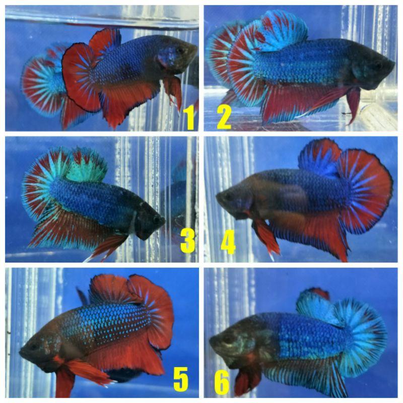 Ikan Cupang Plakat Besgel Line Koi Avatar Shopee Indonesia