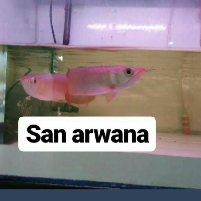 Sr arwana super red ikan arwana super red