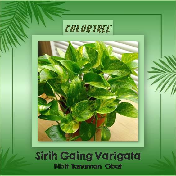 15 Benih herbal Basil Hijau Import F1 fothergills bibit tanaman obat sayur sayuran herb | Shopee Indonesia