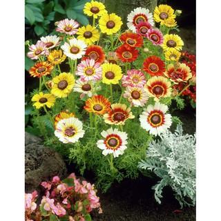 10 Benih Bunga Chrysanthemum Krisan Tricolour F1 mR FOTHERGILLS bibit tanaman