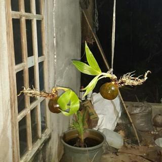 Bahan Bonsai Kelapa Usia 2 Bulan Akar Dan Daun Sudah Panjang
