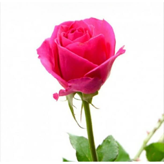 Bibit Tanaman Bunga Mawar Pink Gish Shopee Indonesia