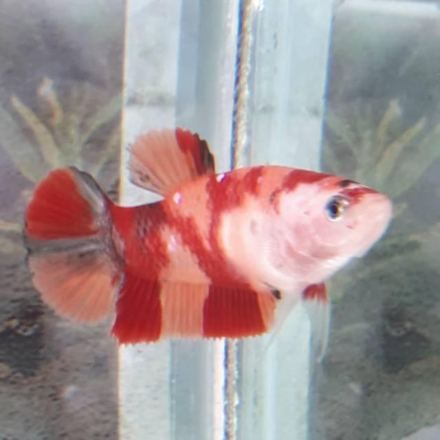 Ikan Cupang Betina Nemo Candy Emeral Berkualitas Shopee Indonesia