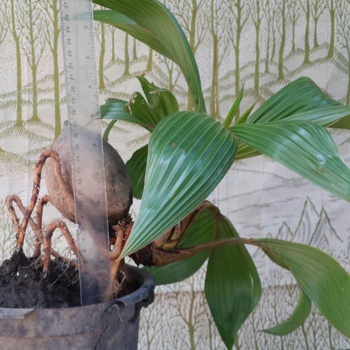 bonsai kelapa genjah unik menarik