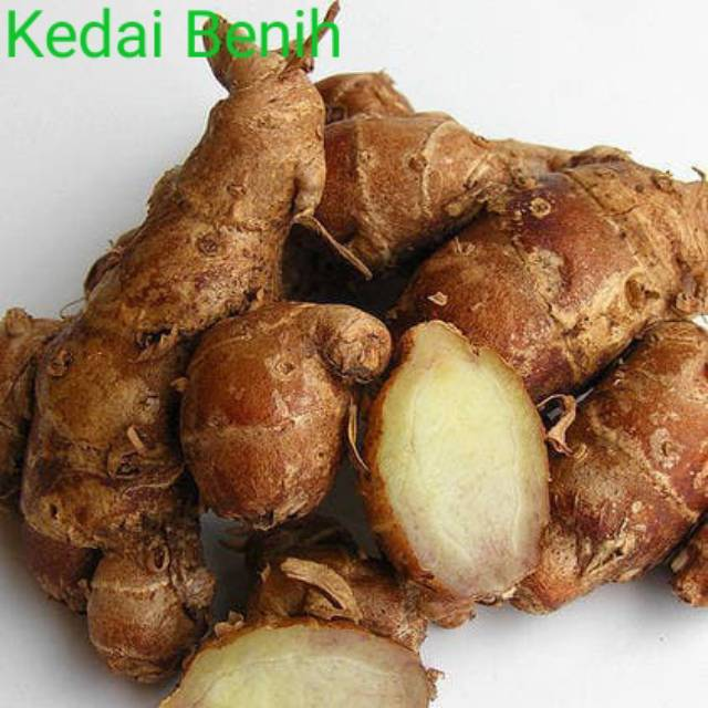 Kedai Benih 51 Umbi Bibit Rimpang Kencur Cekur Kaempferia Galanga Empon Rempah Toga Herbal Herb Shopee Indonesia