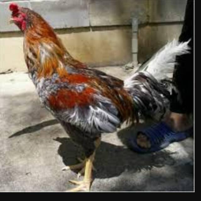 Ayam Sentul Satu Pasang Jantan Dan Betina Shopee Indonesia