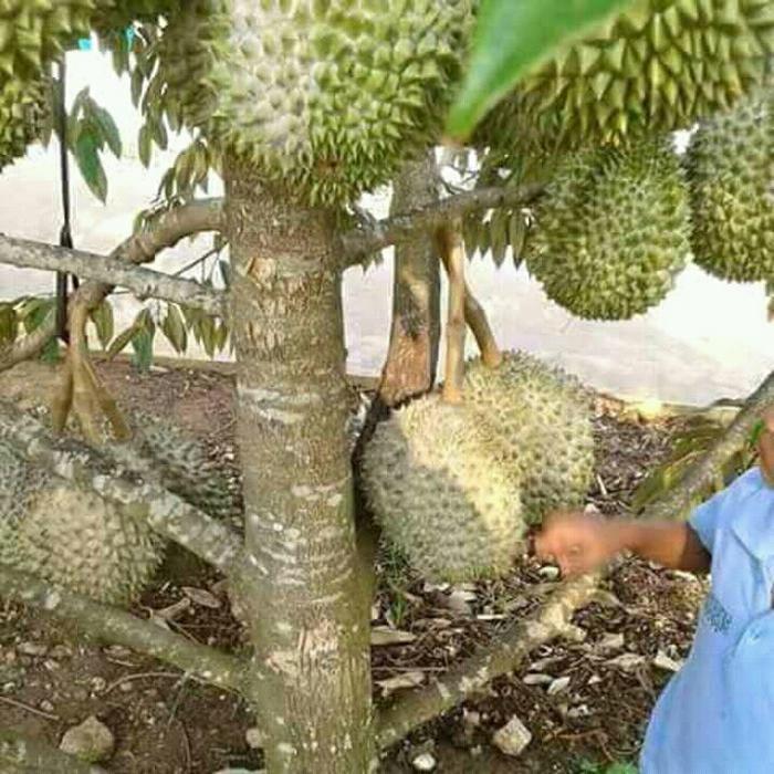 Durian Musang King Kaki 3