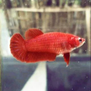 470 Gambar Ikan Cupang Plakat Betina Terbaru