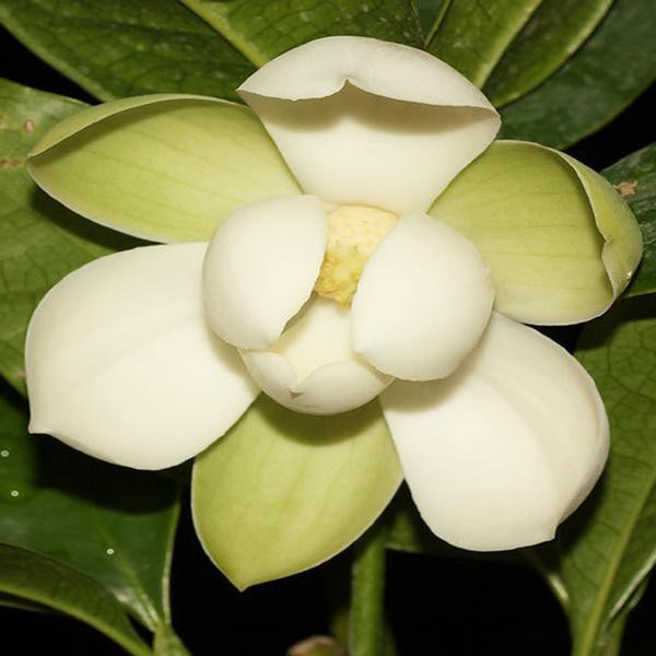 Jual Bunganya Cempaka Putih Super Jumbo Atau Bunga Cempaka Gondok