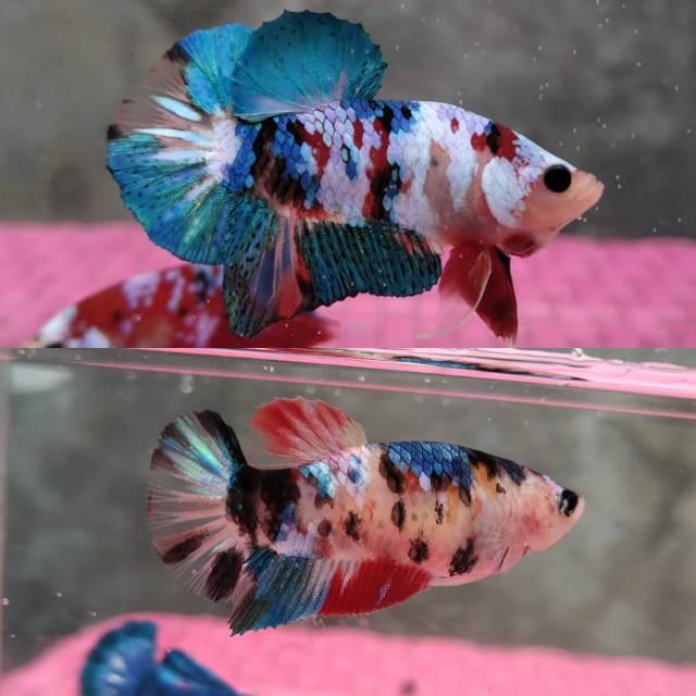 Sepasang Ikan Cupang Koi Galaxy Multicolor Shopee Indonesia