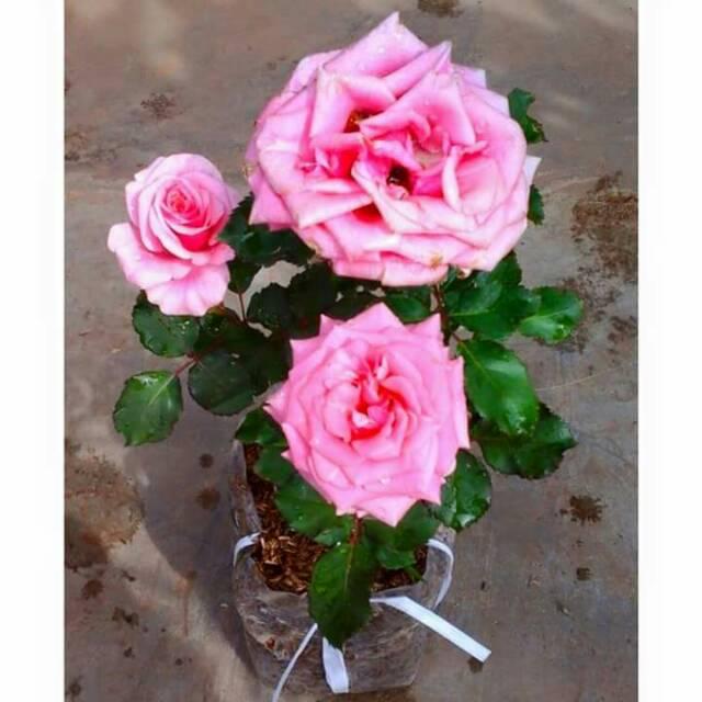 Bunga Mawar Bandung Pink Shopee Indonesia