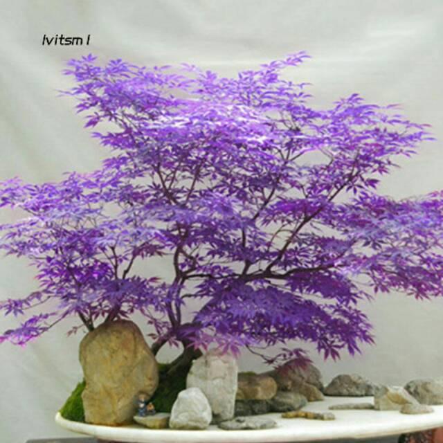 Benih maple asli / biji bunga hias / tanaman hias / bunga hias / bonsai / angrek / aglonema /tanaman