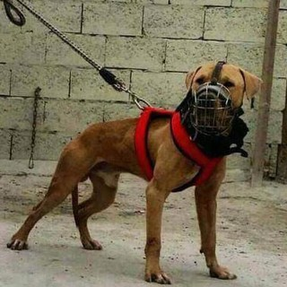 Tali Anjing Extra Besar Kuat Dan Safety Anjing Pitbull Shopee Indonesia
